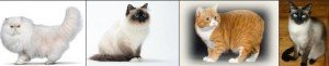 Patience! 1ere partie chats-de-race-300x61